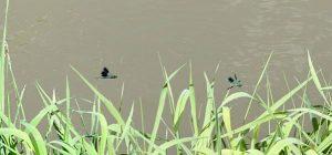 Libellen über der Aisch